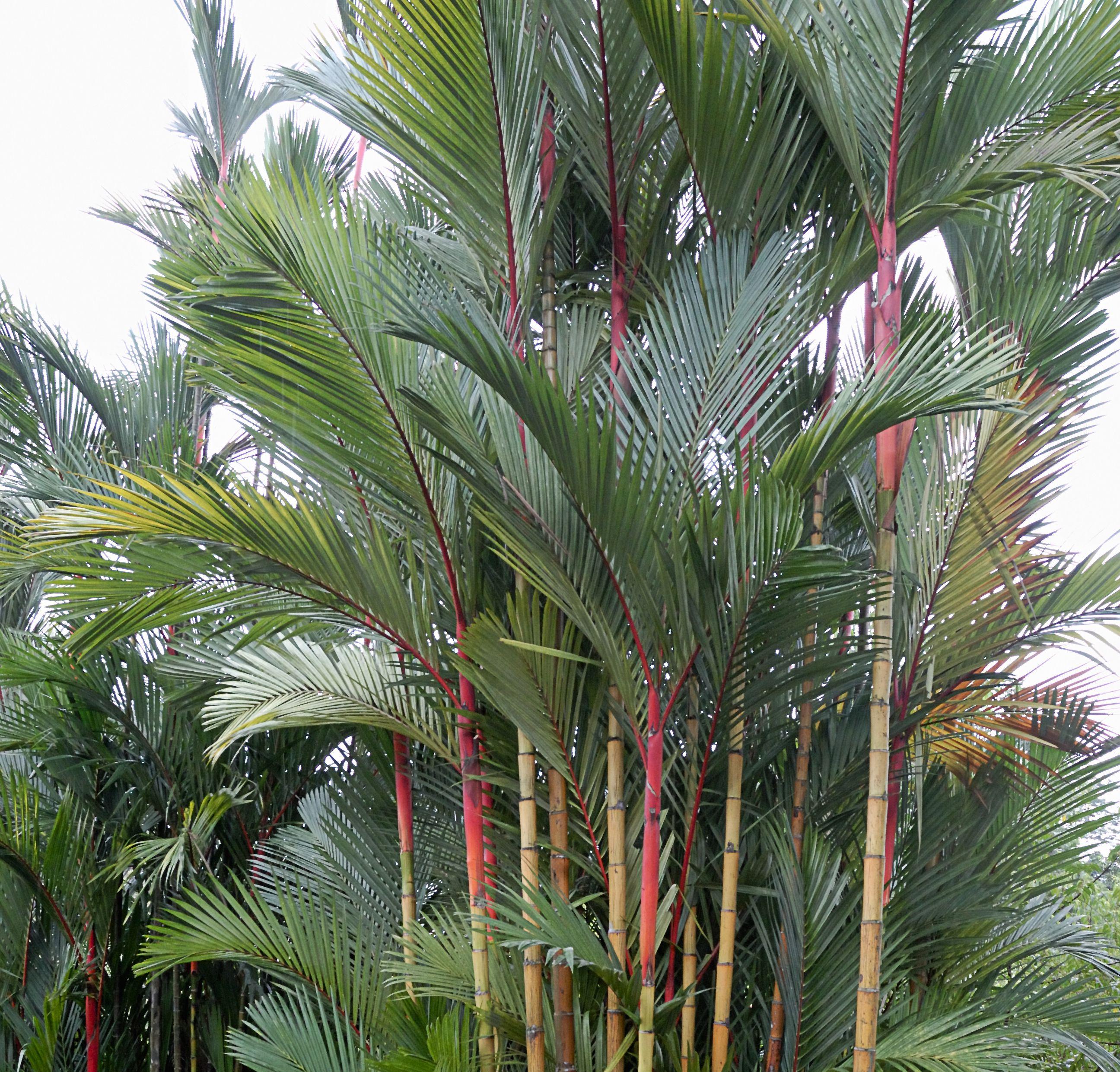Conoce los diferentes tipos de palmera y escoge la adecuada for Plantas de interior tipo palmera