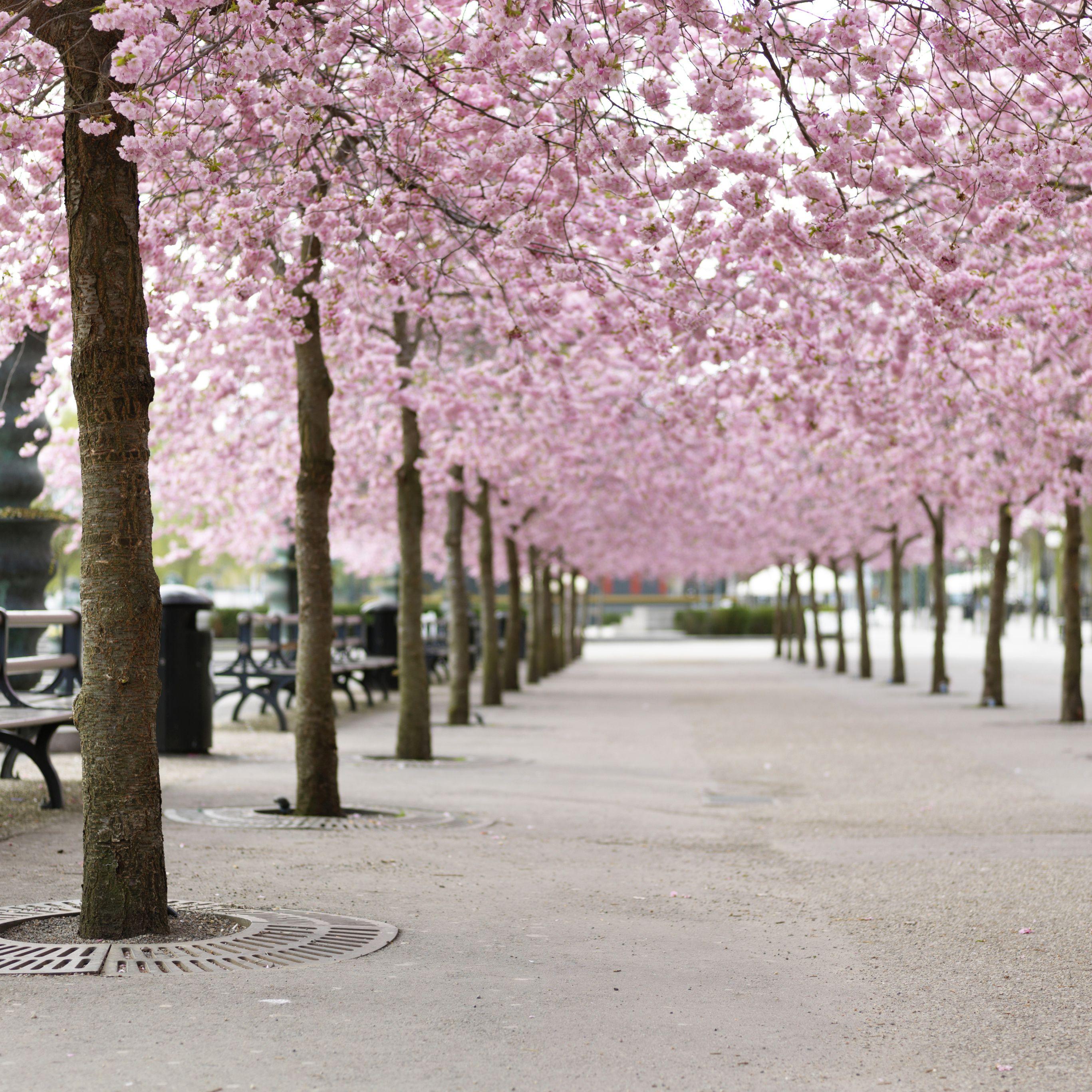 Arbol De Cerezo Japones sakura o la flor del cerezo