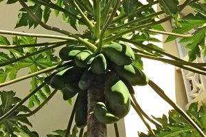 Papayas en árbol