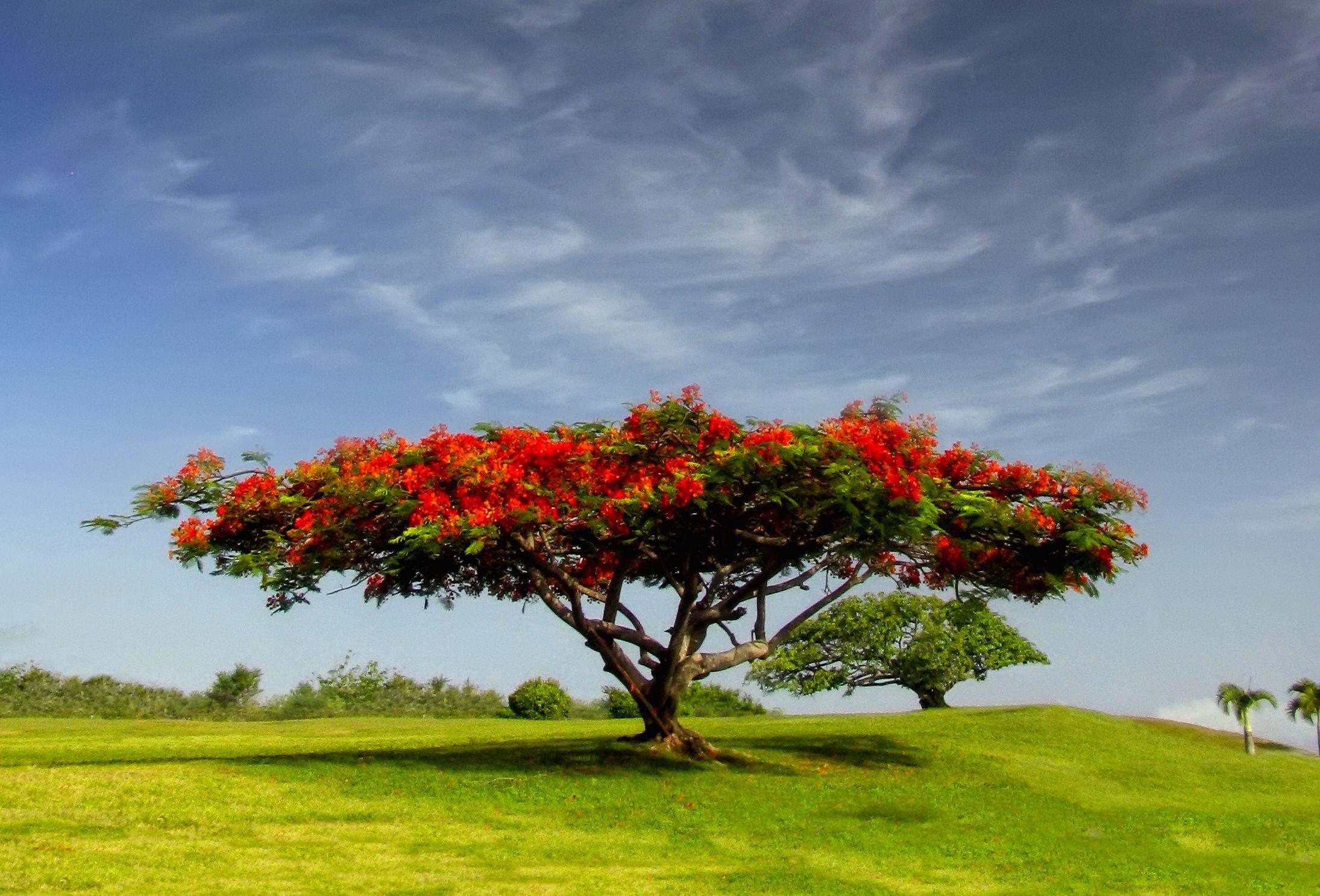 Los flamboyanes o rboles de fuego for Arboles para sombra de poca raiz