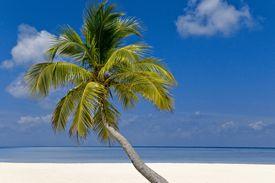 Palmera de cocos