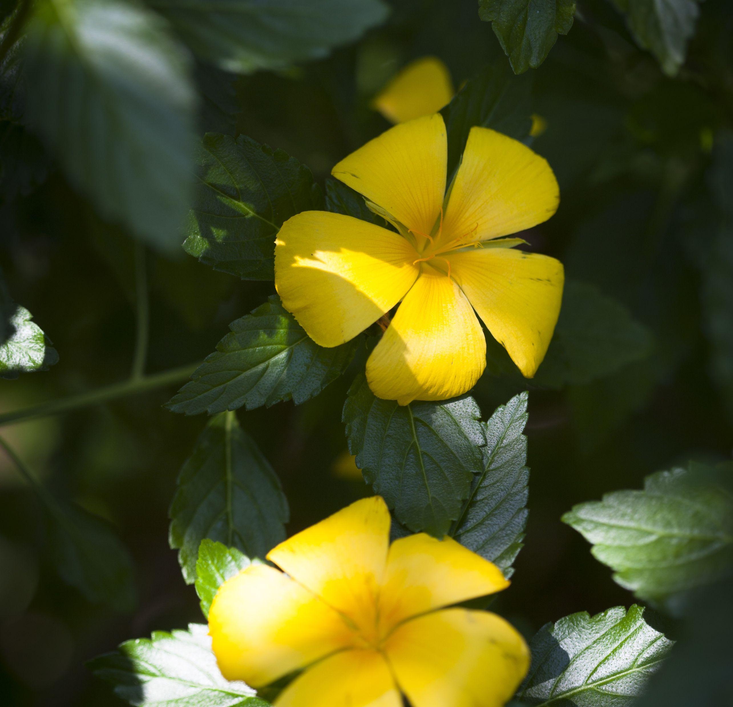 Plantas con flores amarillas para tu suerte for Plantas para veredas con flores