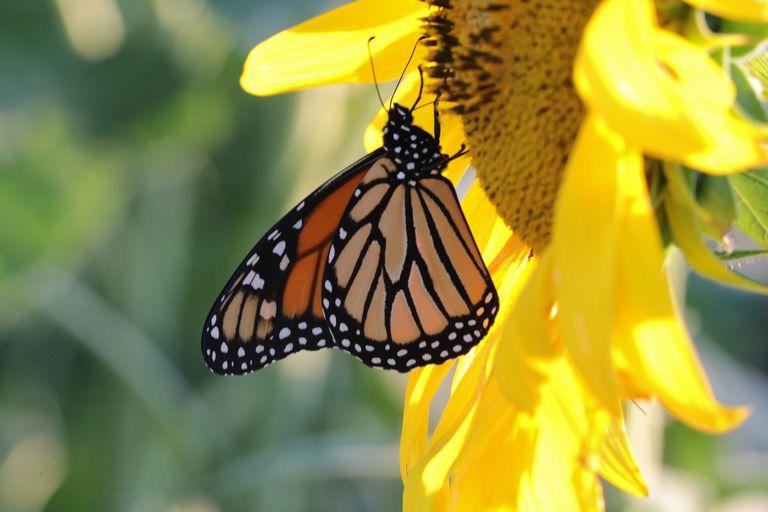 Una mariposa visita un girasol