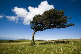 Arbol doblado por el viento