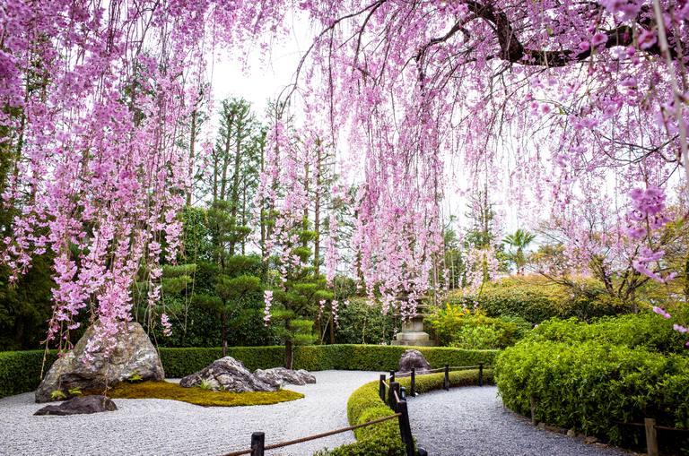 Jardín zen con cerezos