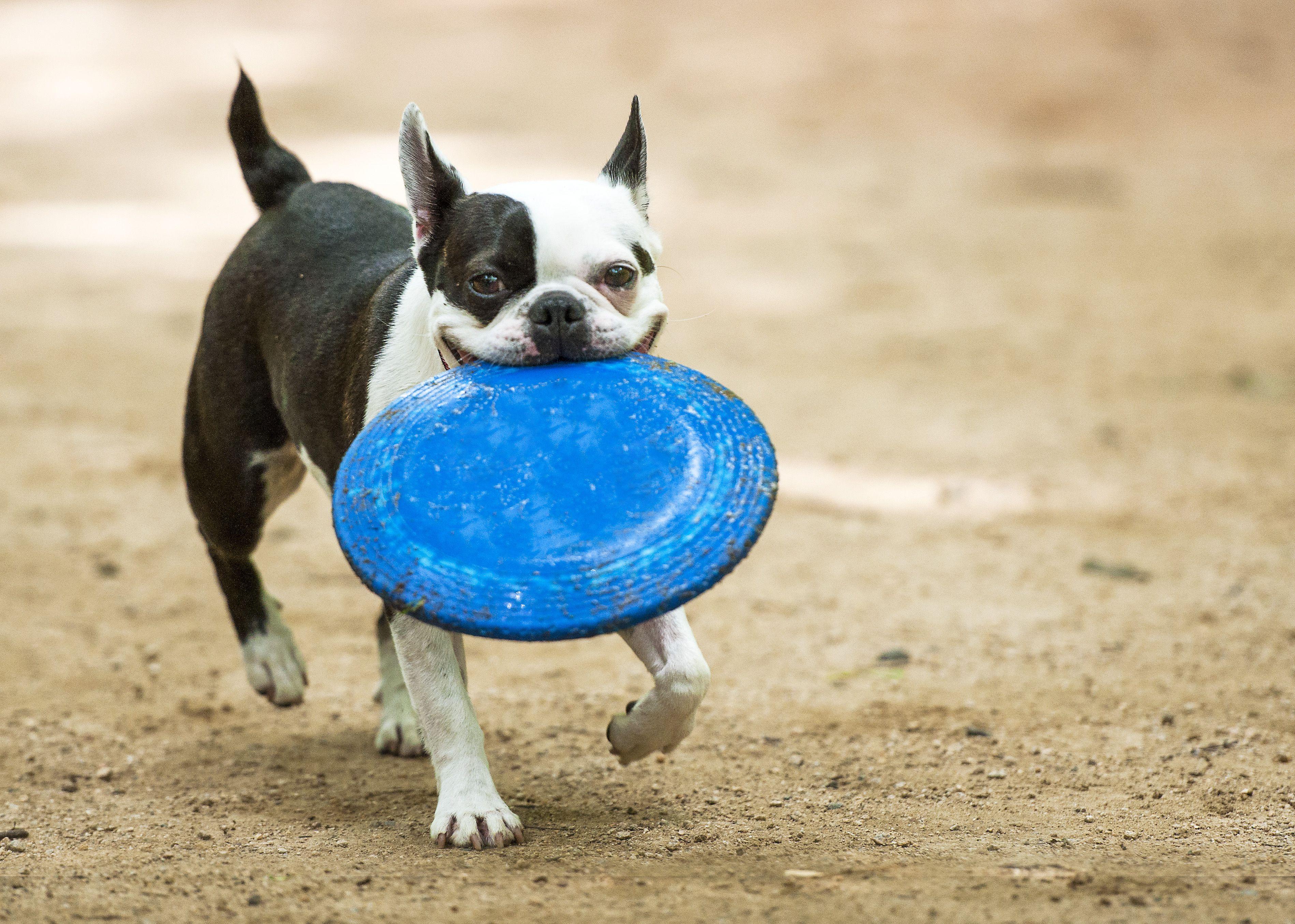 Boston terrier en juego en el parque para perros