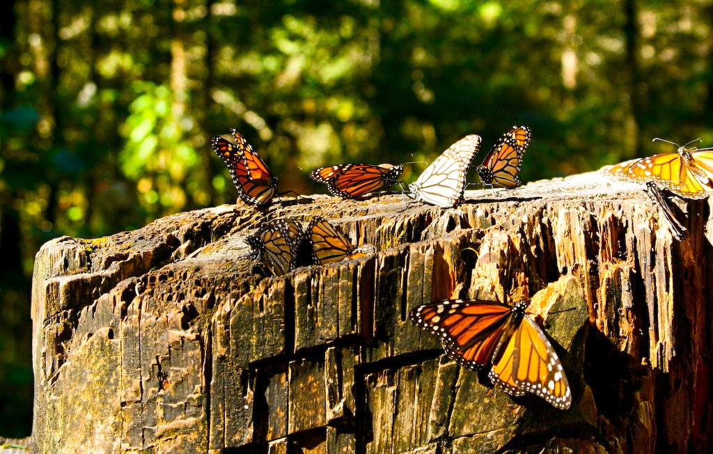 Mariposas-monarca.jpg