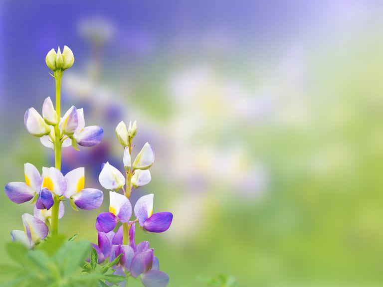 flores de tarwi