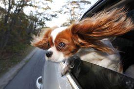 Cavalier King Charles colgando de la ventanilla del coche