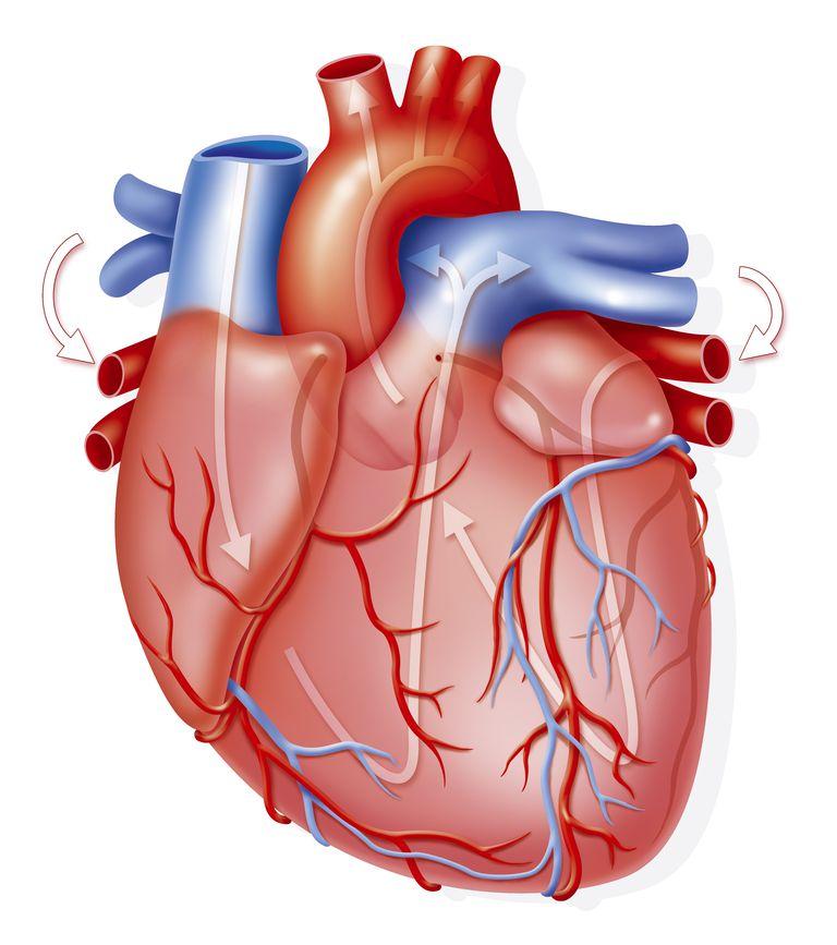 como funciona el corazon y sus partes