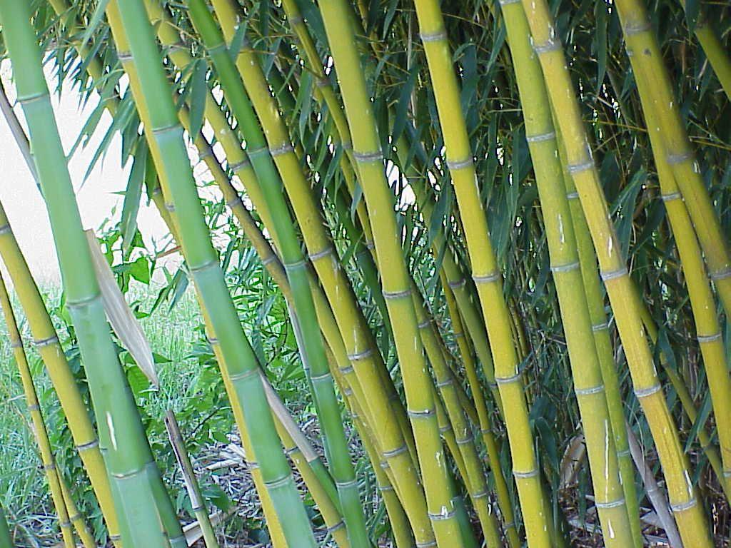 C mo trabajar el bamb - Tipos de bambu ...