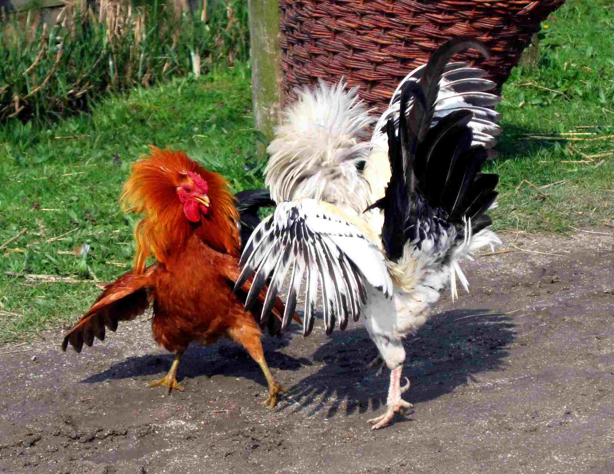 Problemas de comportamiento en la granja de gallinas