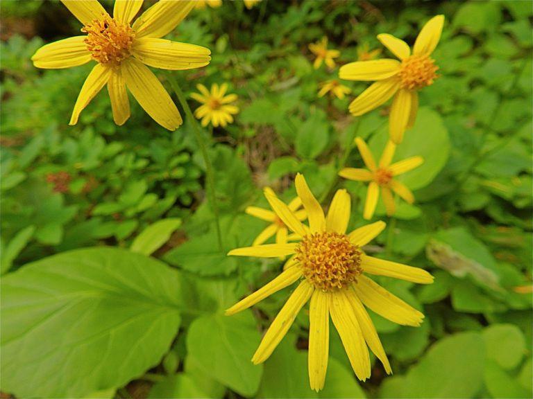 Propiedades de la flor de árnica para uso medicinal