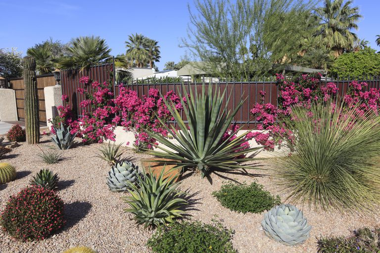 Beautiful xeriscaped residential garden of cactus,succulents,bougainvillea and other arid perennial plants