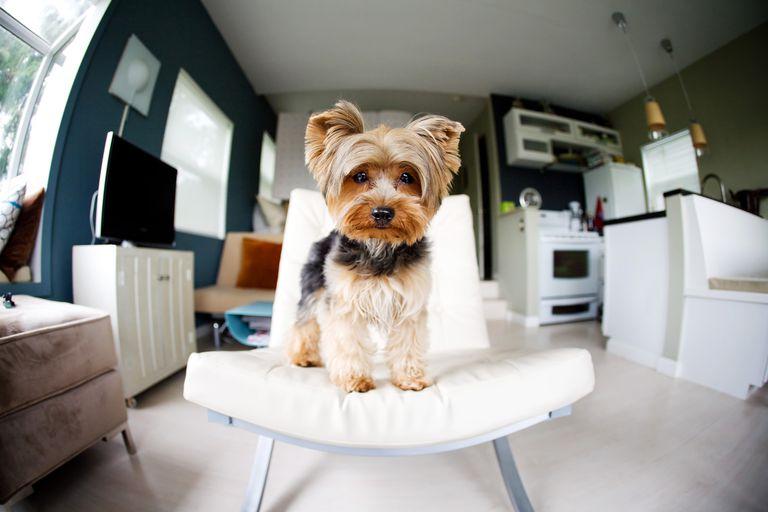 Perro en apartamento