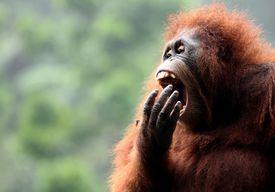 Orangután bostezando