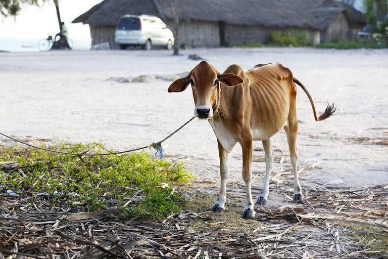 Una vaca flaca, que representa un período de pobreza