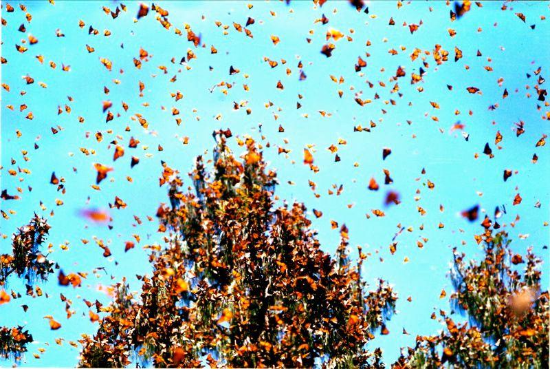 Mariposas Monarcas en Michoacán