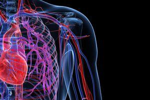 Vasos sanguineos del sistema cardiovascular, arterias, venas, capilares,