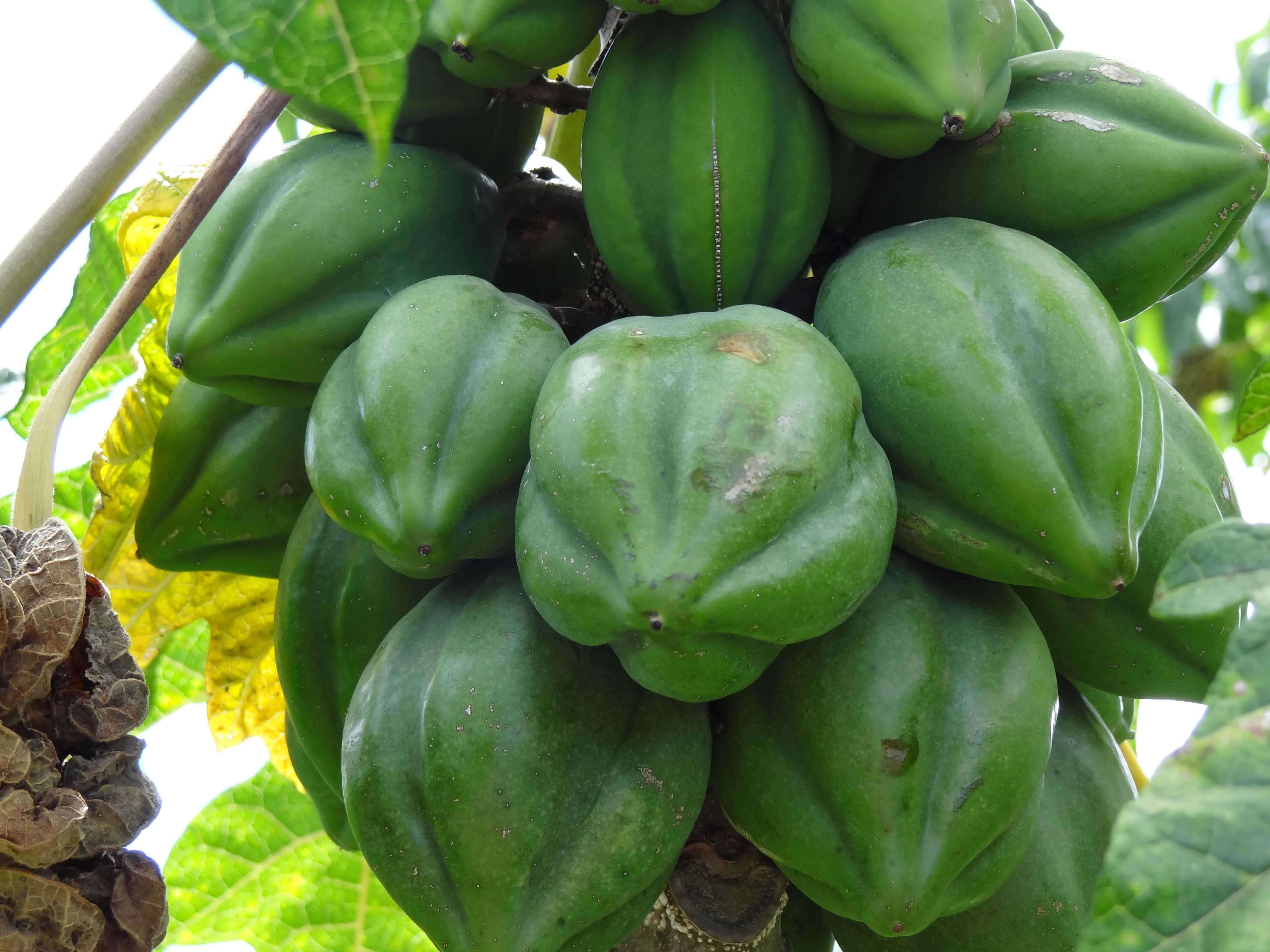 Aaa-papaya-verde-Petrus-wiki.JPG