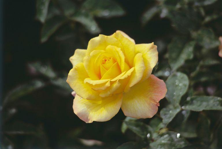 Flores Amarillas Para Despedir O Recibir El Ano