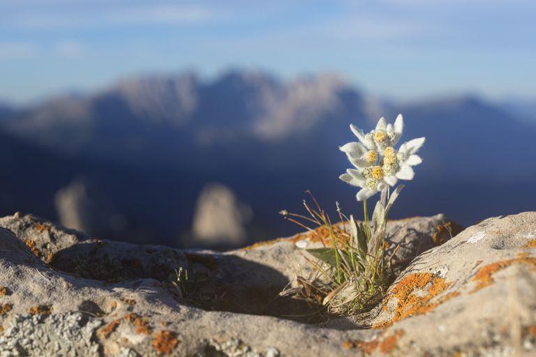 Edelweiss con una montaña en el fondo