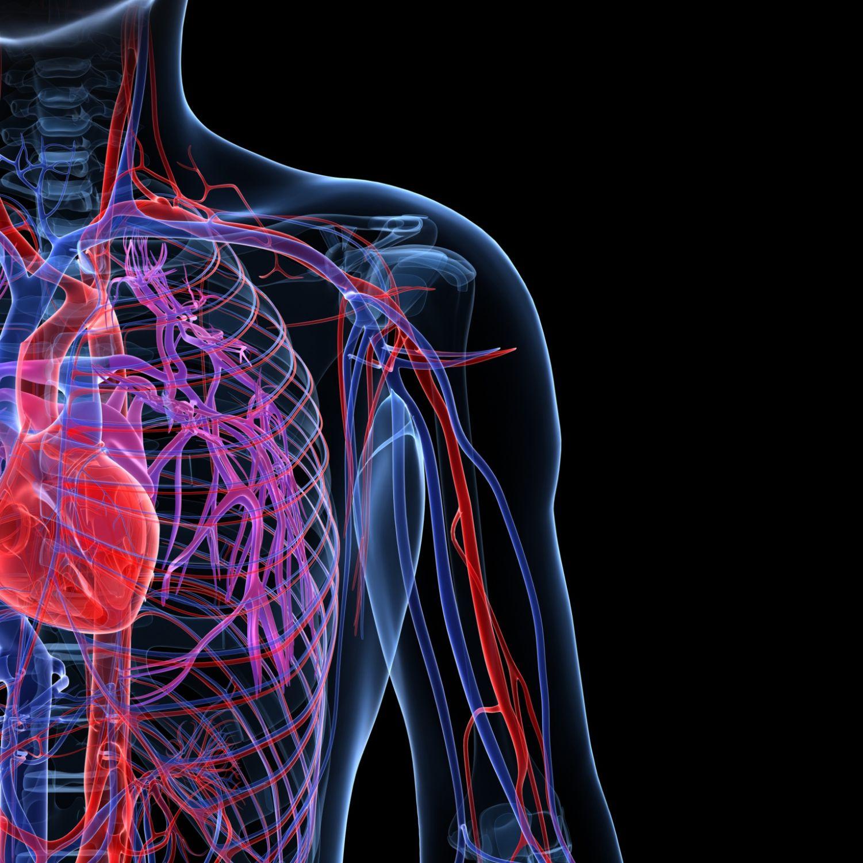 funcion de las venas y arterias en el cuerpo humano