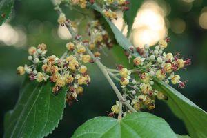 GuazumaUlmifolia_FranzXaver_WikiC.jpg