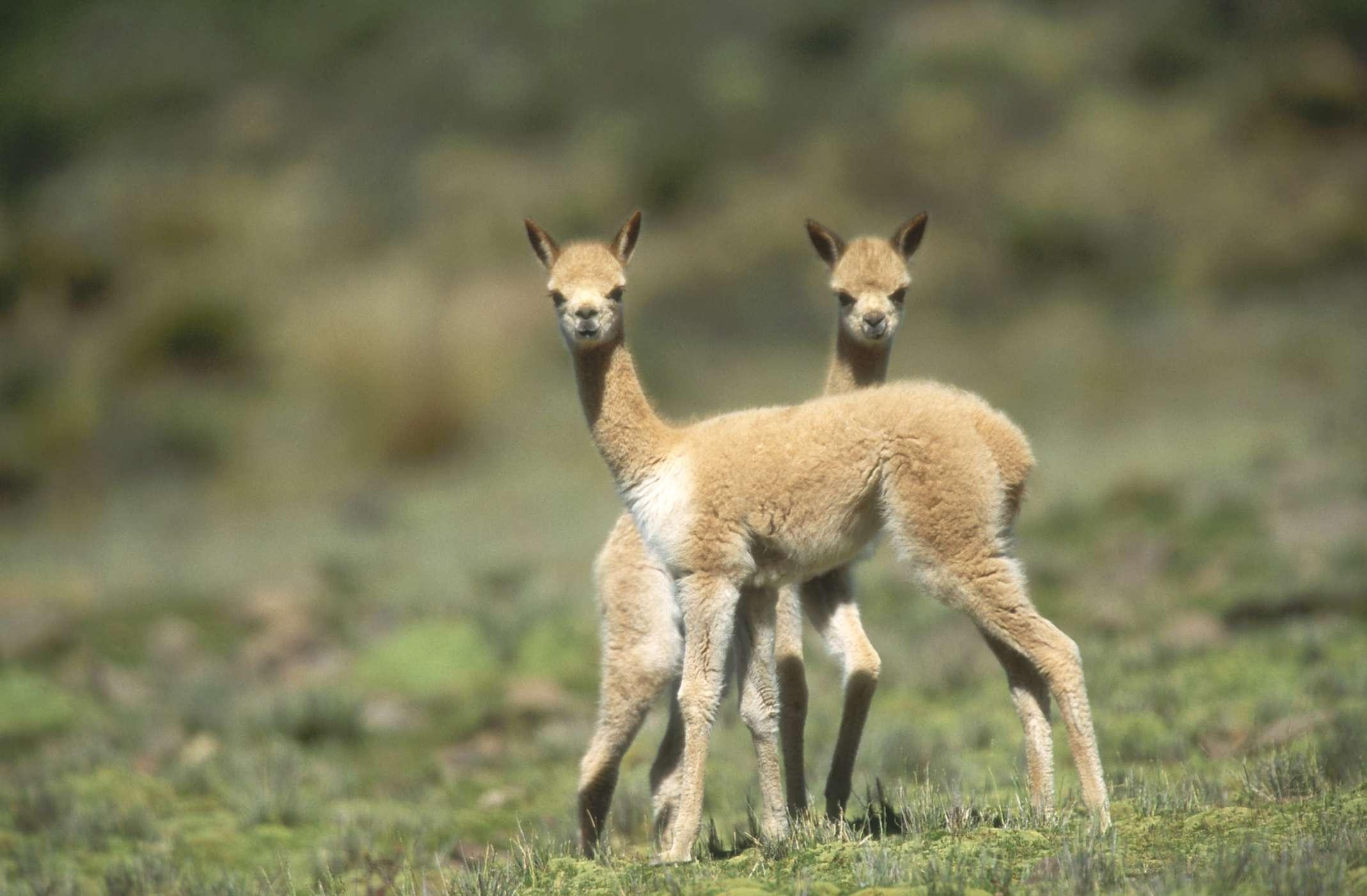 Bebé vicunas en Pampas Galeras