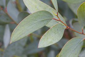 Rama de árbol de eucalipto