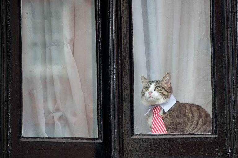 Un gato con corbata a rayas y cuello blanco mira por la ventana