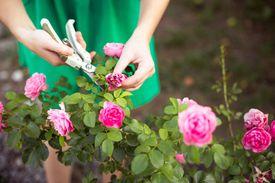 Cortando rosas secas