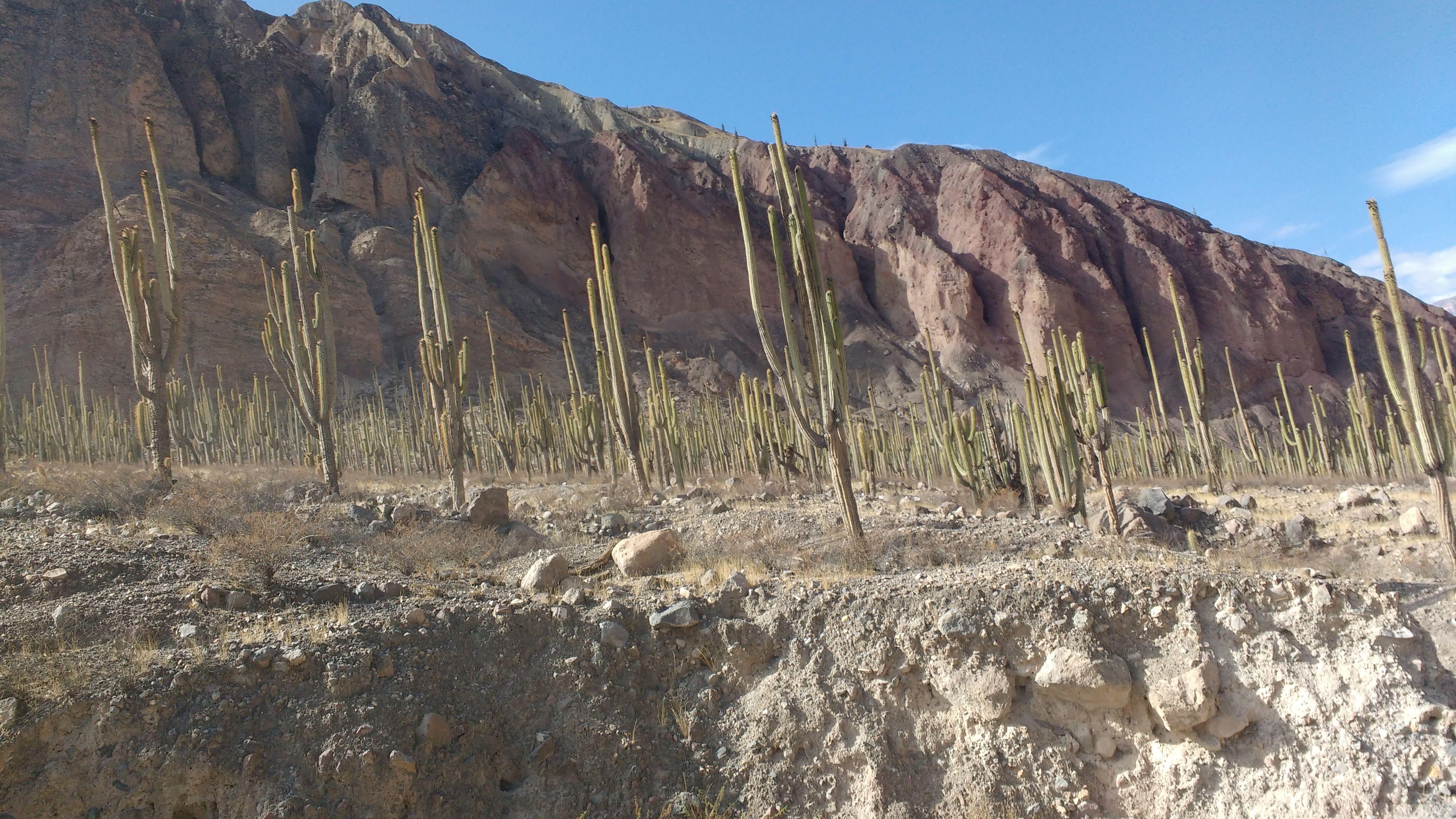 Bosque de cactus de Judío Pampa