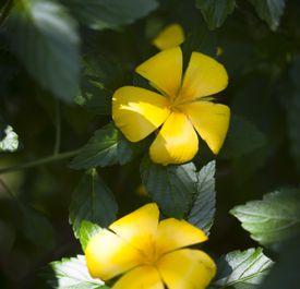 Turnera de flores amarillas