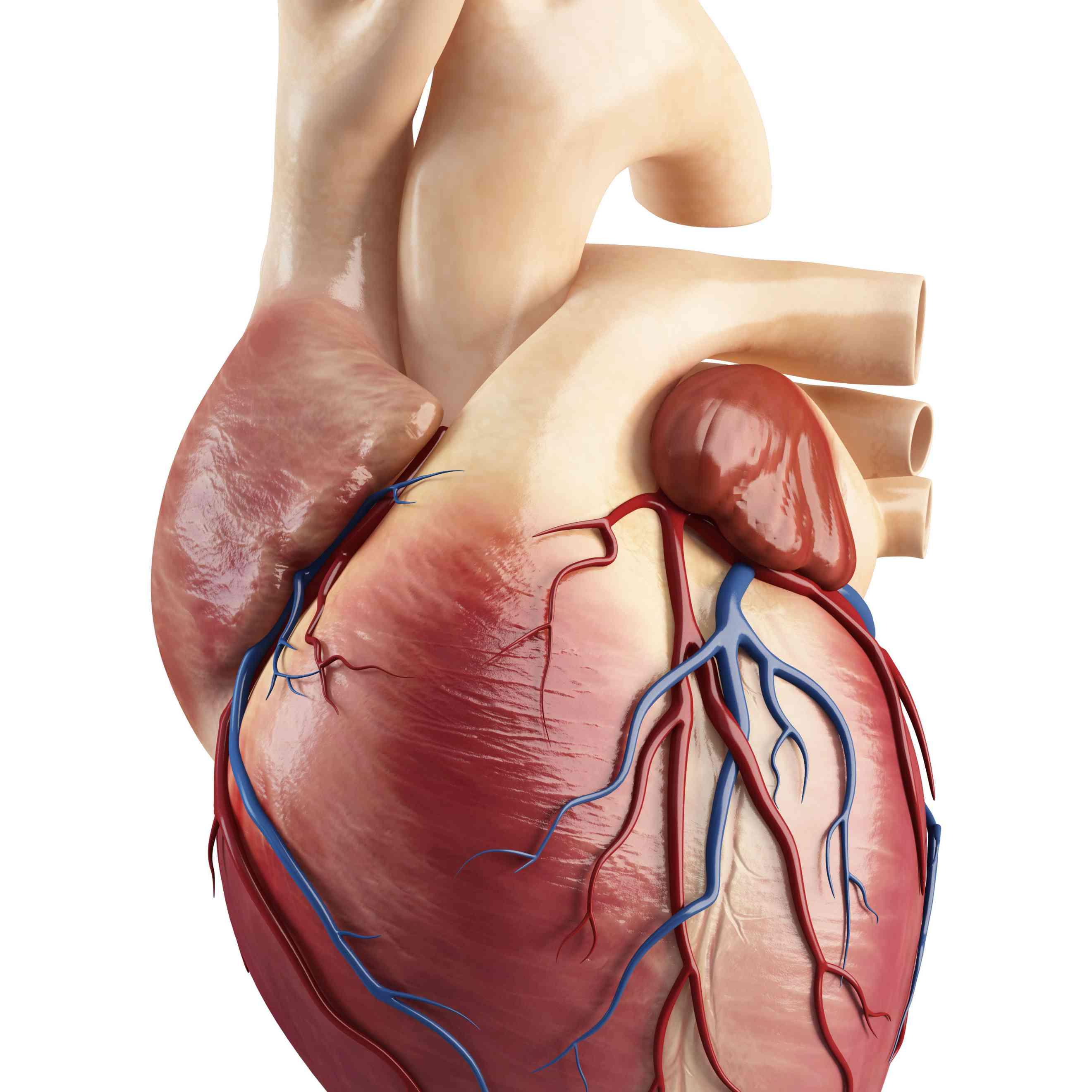 como es el corazon, auriculas y ventriculos, capas del corazon,