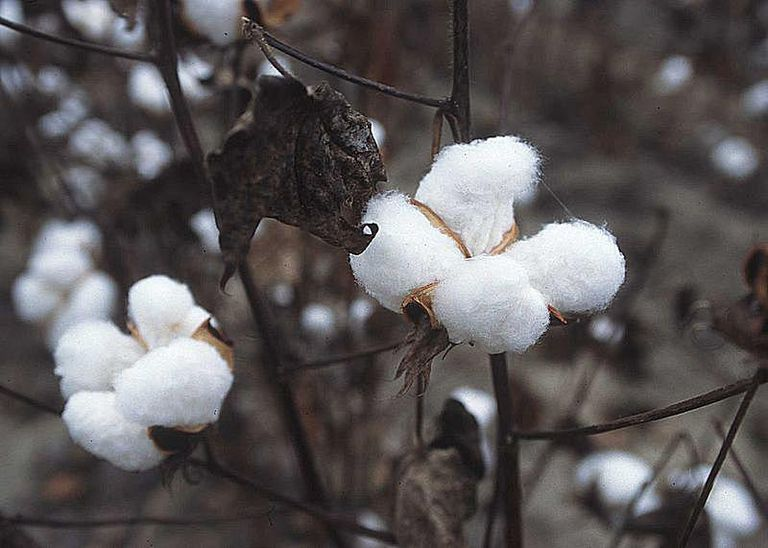 Cotton plant, Texas, 1996