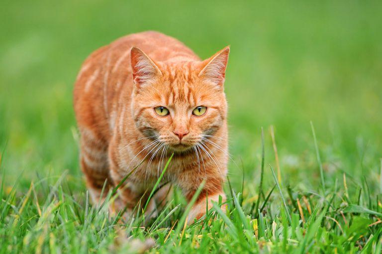 Un gato acecha a su presa