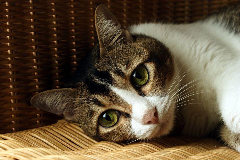 Gato melancolico