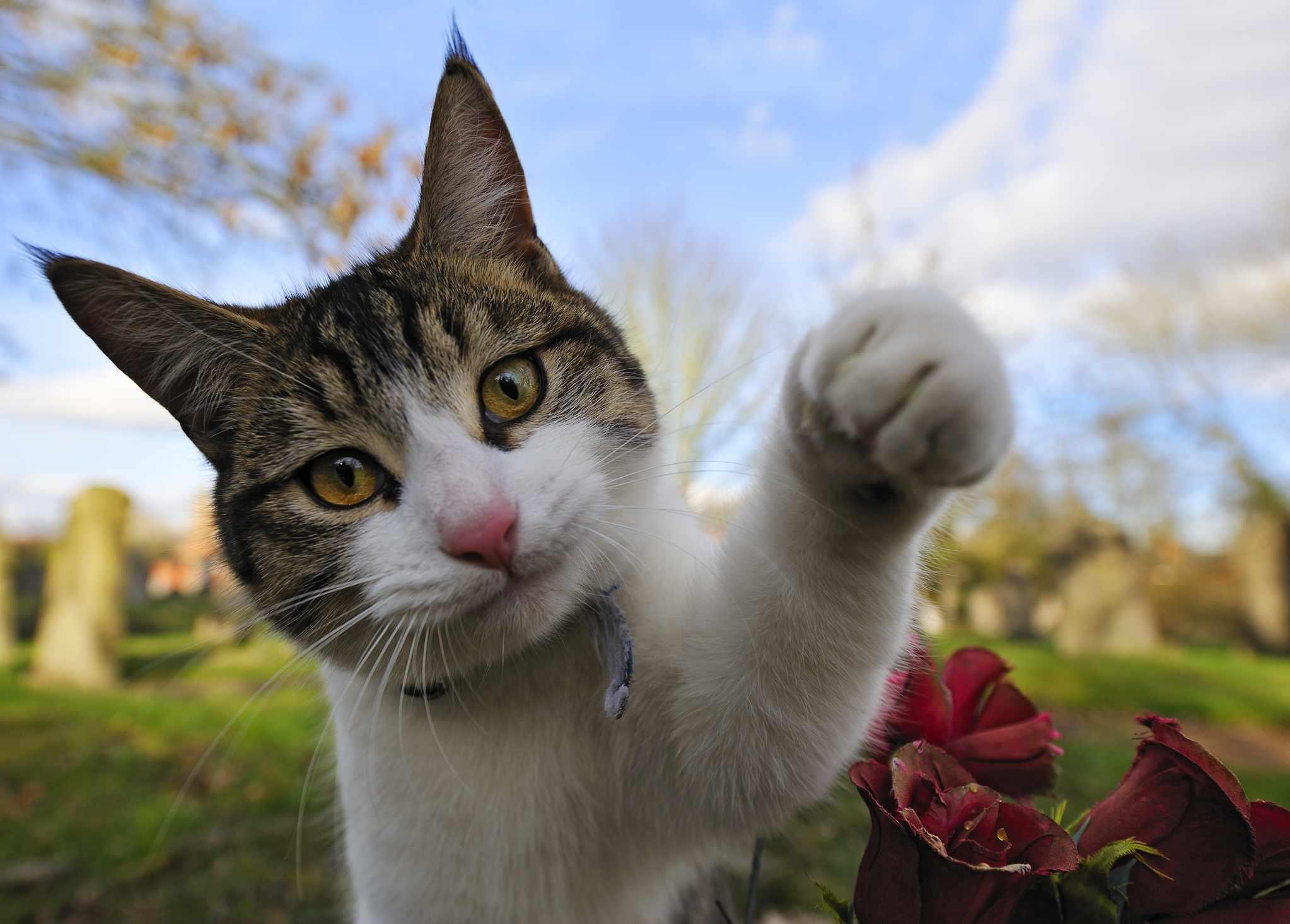 Gato atigrado levanta su pata