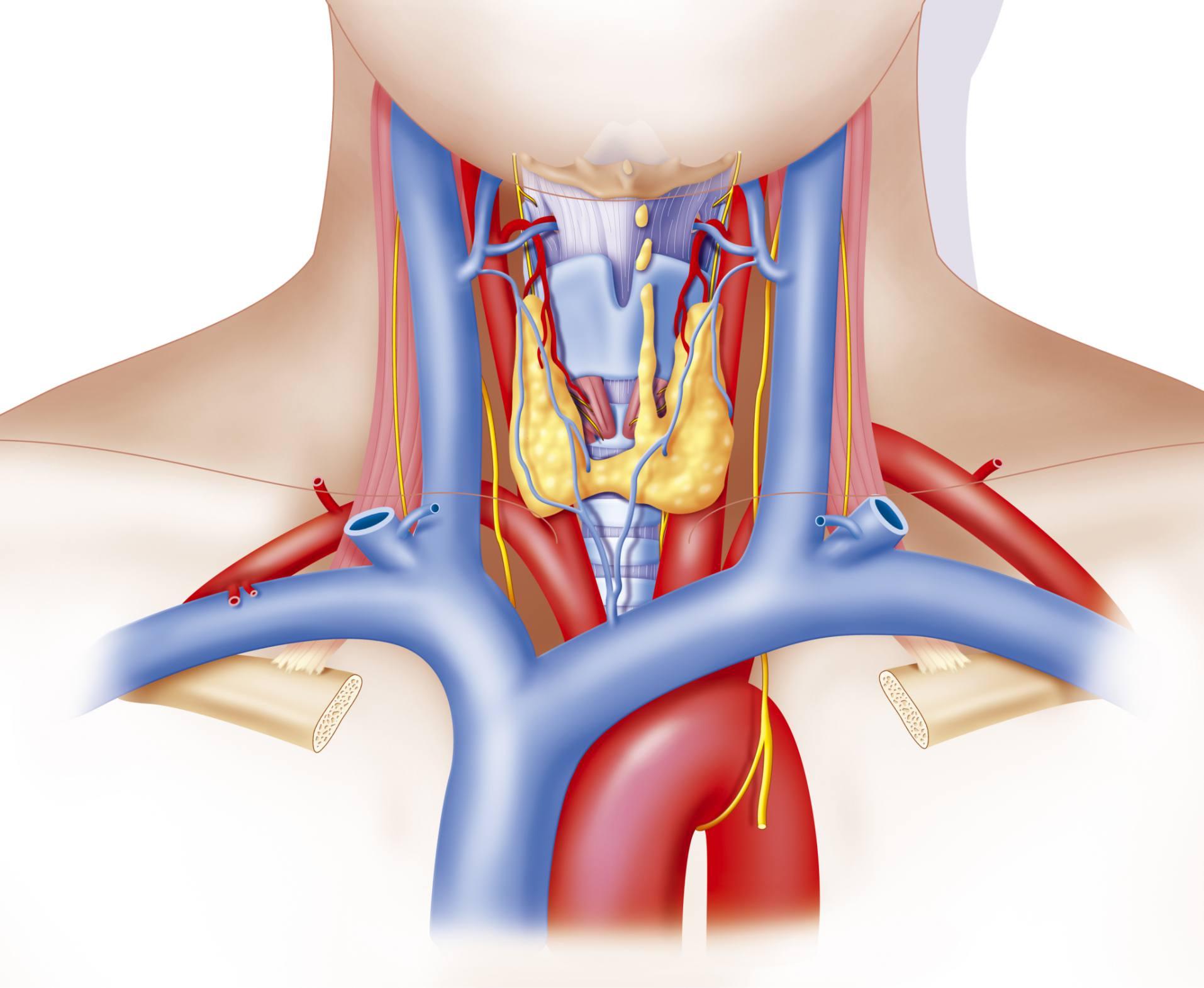 Tiroides, hipertiroidismo, hipotiroidismo y corazón