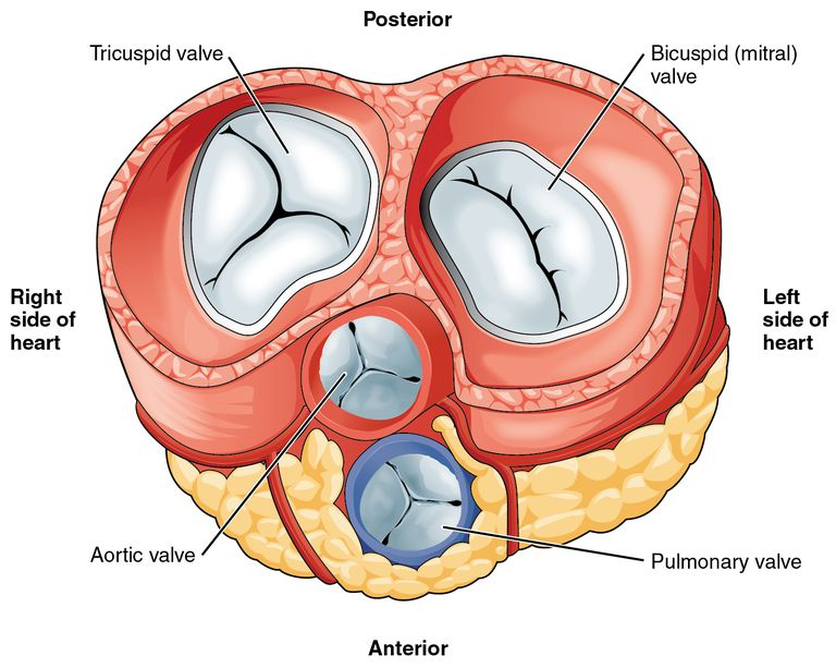 Heart valves illustration