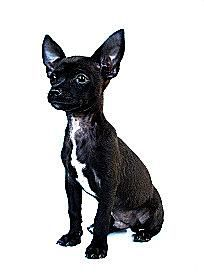 5.-Fotos-de-chihuahuas.Negro.Hapa.GI.jpg