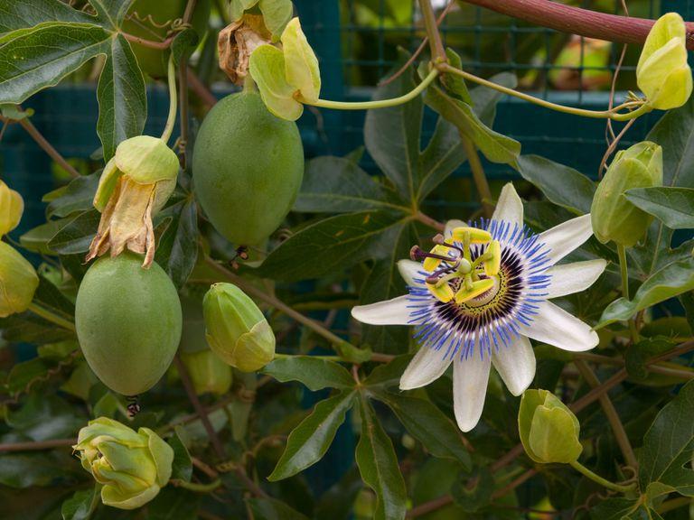 Flor y fruto de la pasión