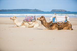 Dos camellos descansan en la playa de Essaouira, Marruecos.