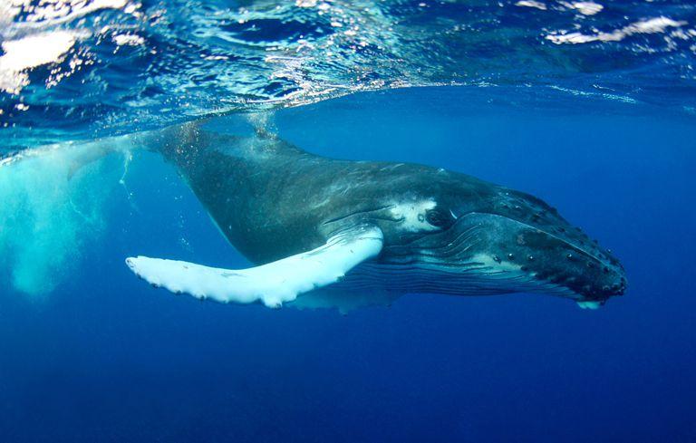 Humpback Whale underwater portrait