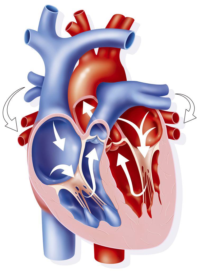 Valvulas cardiacas, mitral, tricúspide, pulmonar y aórtica