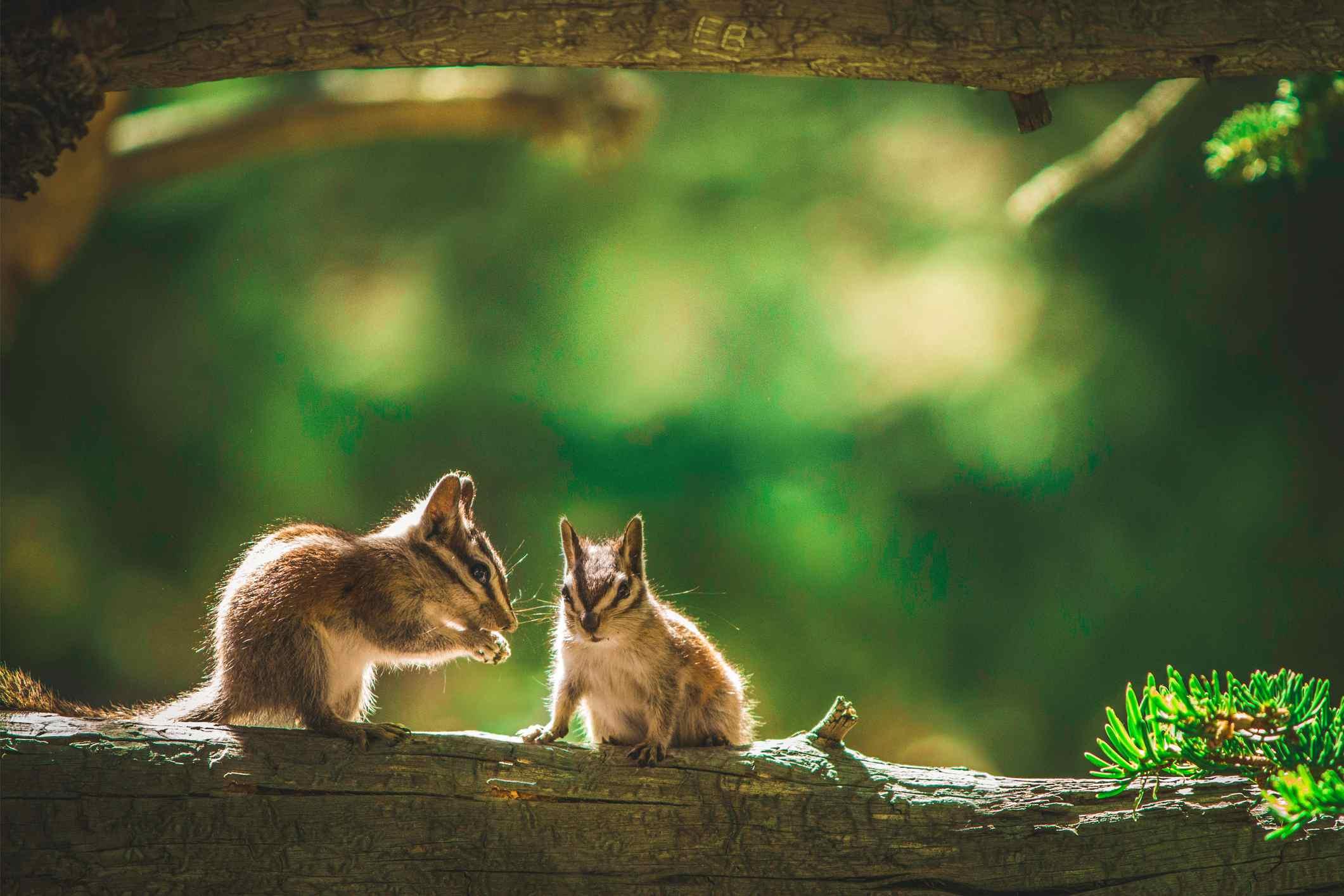 Pair of chipmunks