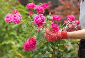 Cultiva rosas