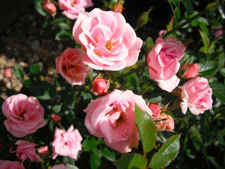 Protege tus rosas en verano