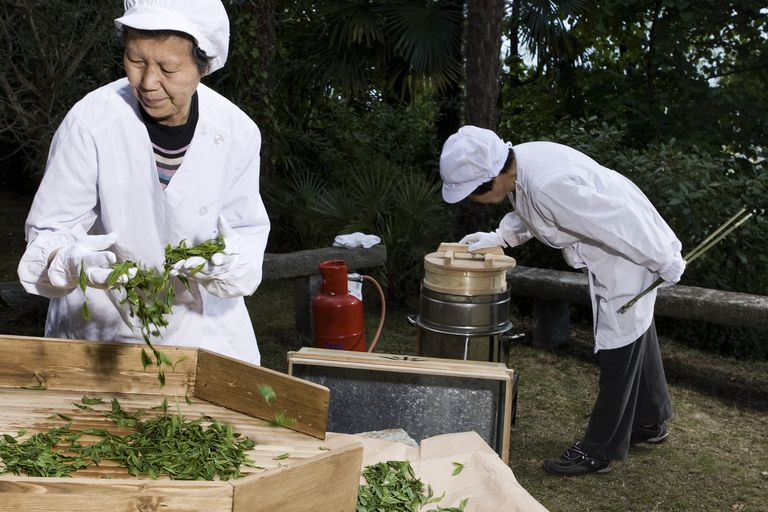 two old Japanese women steaming green tea in a traditional way after harvest